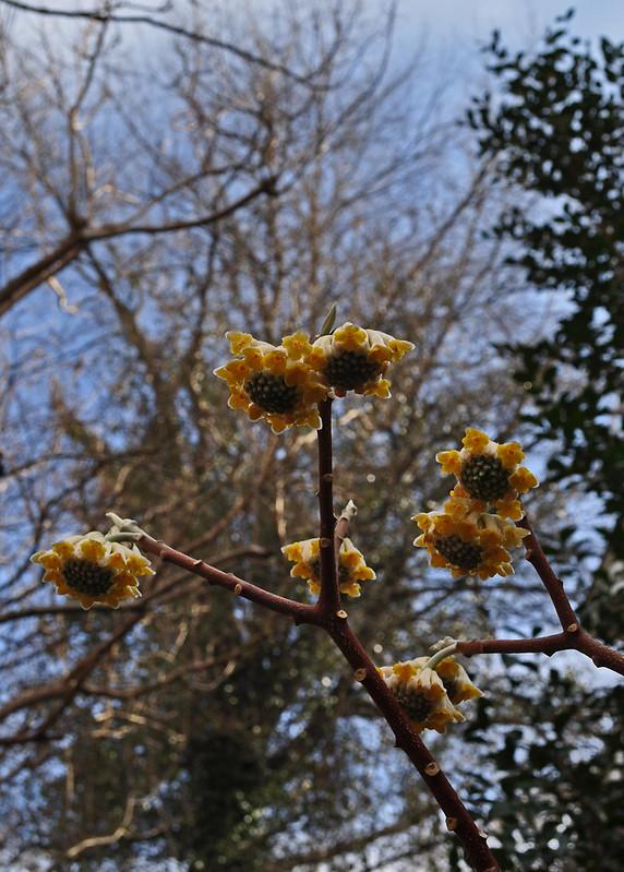 Edgeworthia chrysantha (3)