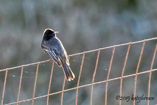 Flycatcher on a Fence