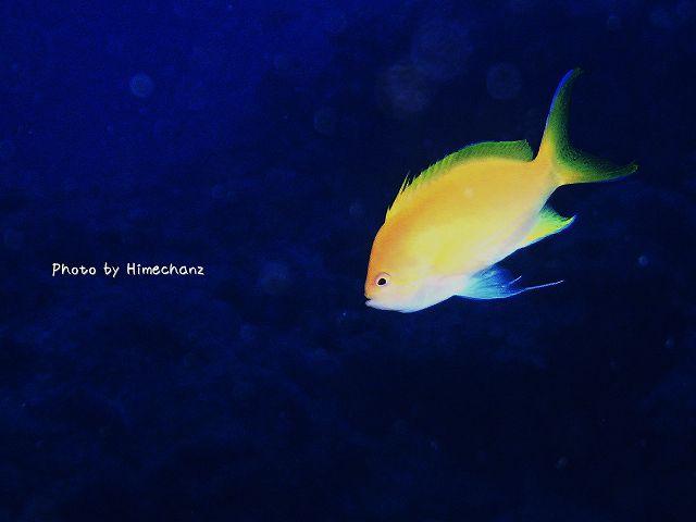 スミレナガハナダイのメス。美しい黄色です。