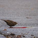 [271] Blackbird