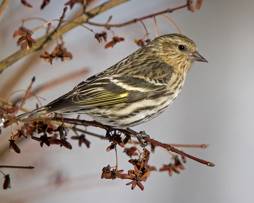 pennsylvania pinesiskin bradfordcounty spinuspinus