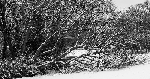 Fallen tree in the snow