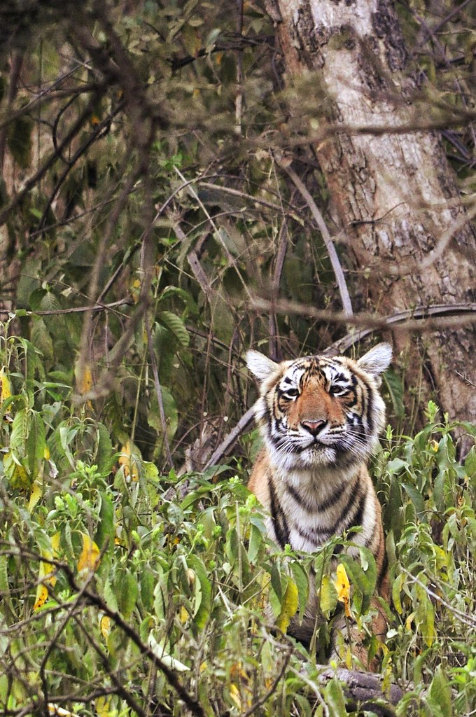 Tiger-guckend_g