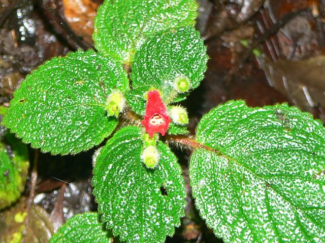 Gesneriaceae