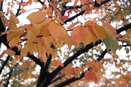 河津桜の紅葉