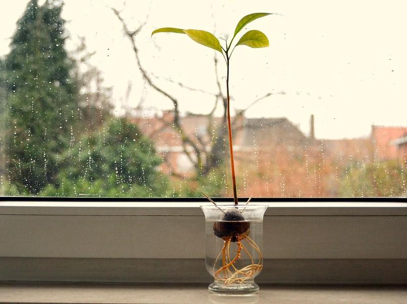 planta de palta 1