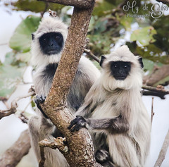 Grey Langur - togetherness