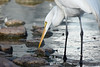 Great Egret Munching