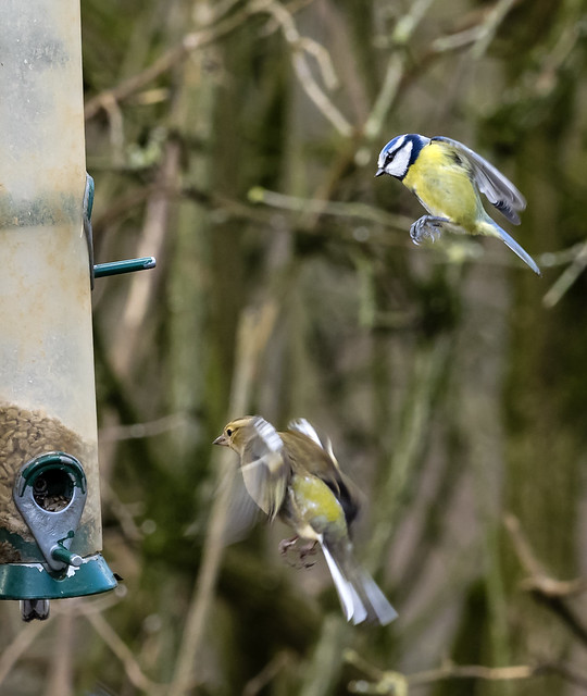 blue tit and greenfich 446 (11)