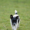 Stan - Jack Russell