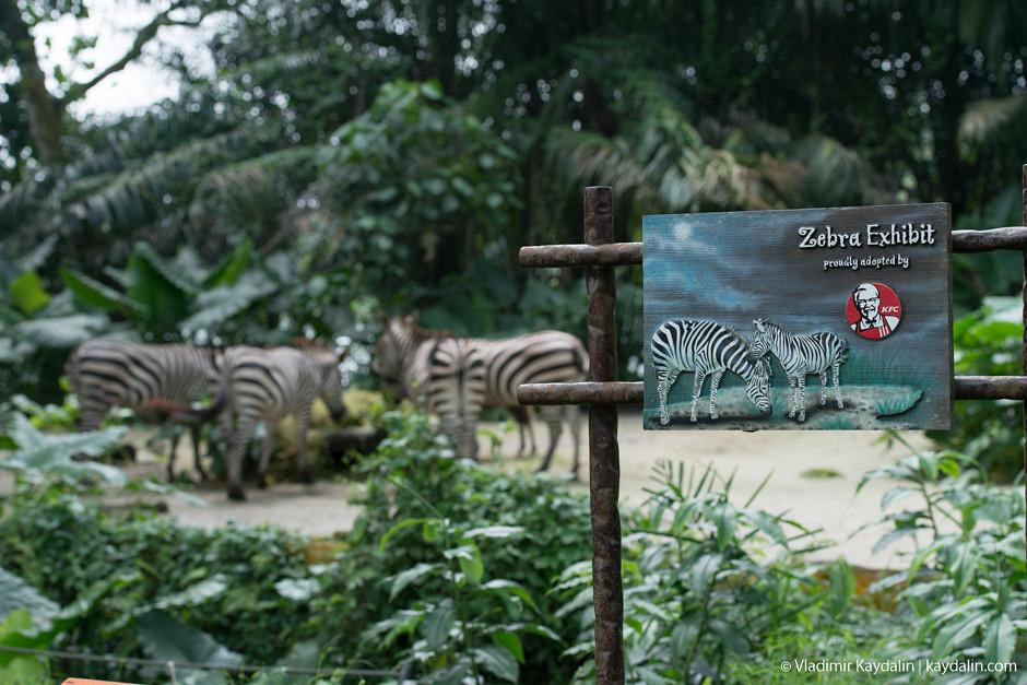 Зебра, зоопарк Сингапура