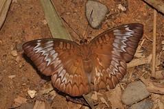 Tanaecia sp.