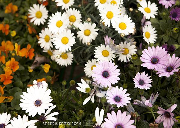 משתלת הגן הקסום רשפון, פרחים, אכינצאה, חרציות
