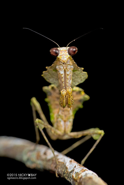 Dead leaf mantis (Deroplatys sp.) - DSC_3691