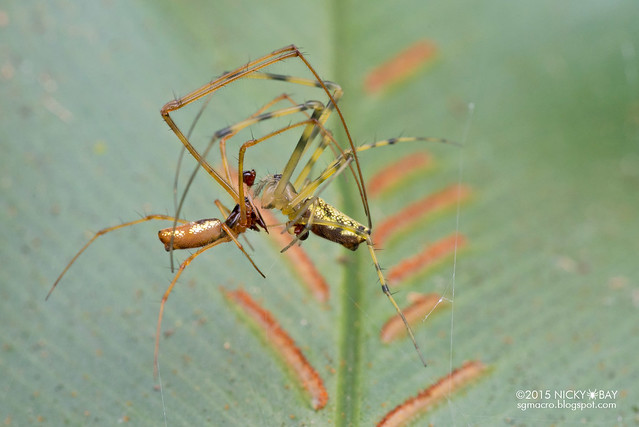 Big-jawed spiders (Tetragnathidae) - DSC_3610