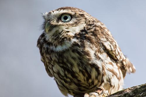 Little Owl - Falconry Centre UK Thirsk Birds of Prey Centre