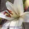#lily #exquisite