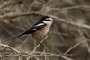 Nubian or Masked Shrike (Lanius nubicus) by Ron Winkler nature