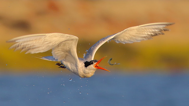 Playing with food Tern style!