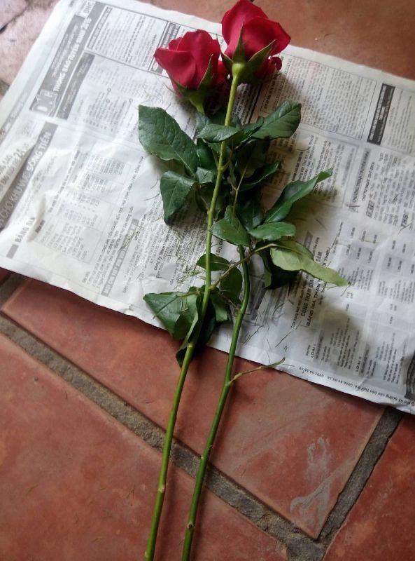 Cành hồng nhung cắt cành Đà Lạt từ gần 1 năm trước được tôi mua về để giâm cành