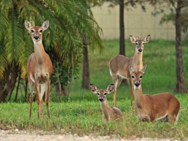 White-tailed Deer 2-20141125