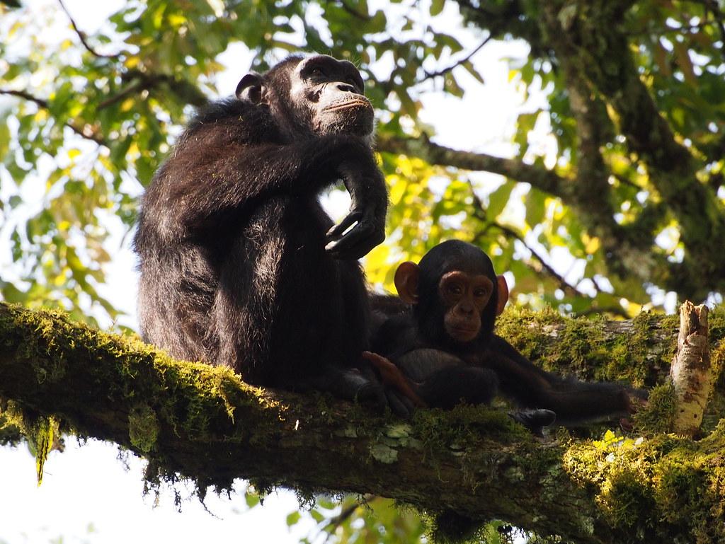 Simpanssi