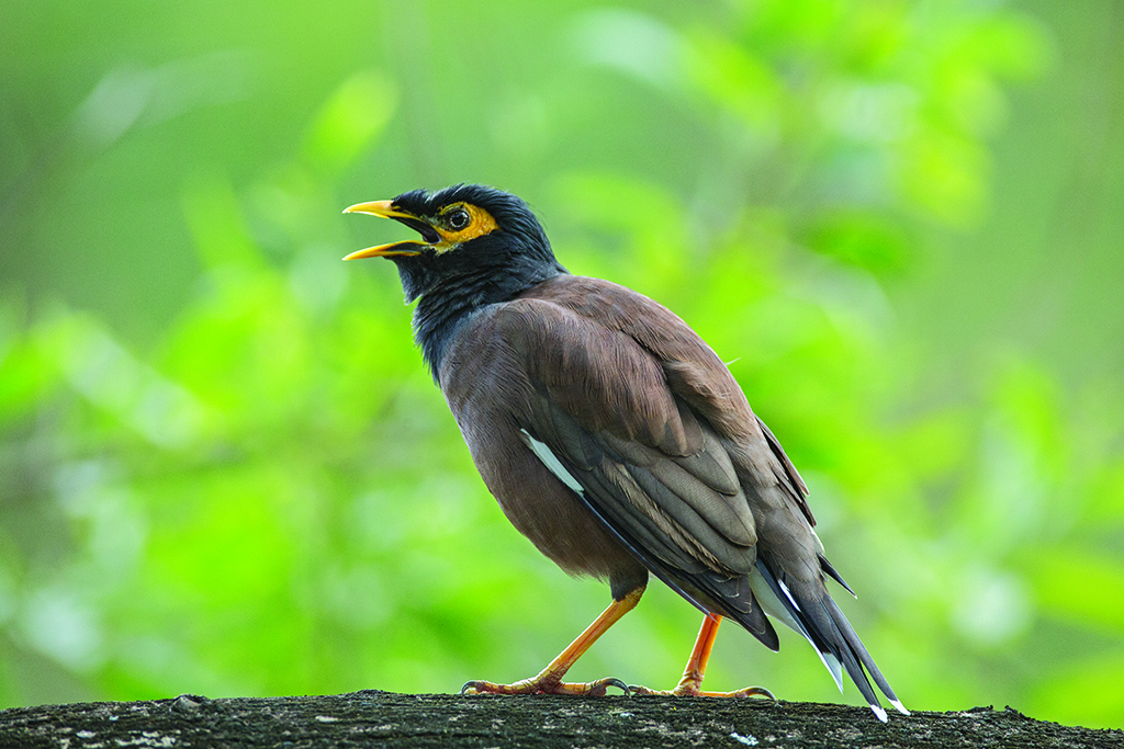 2014-12-0Common Myna Thailand