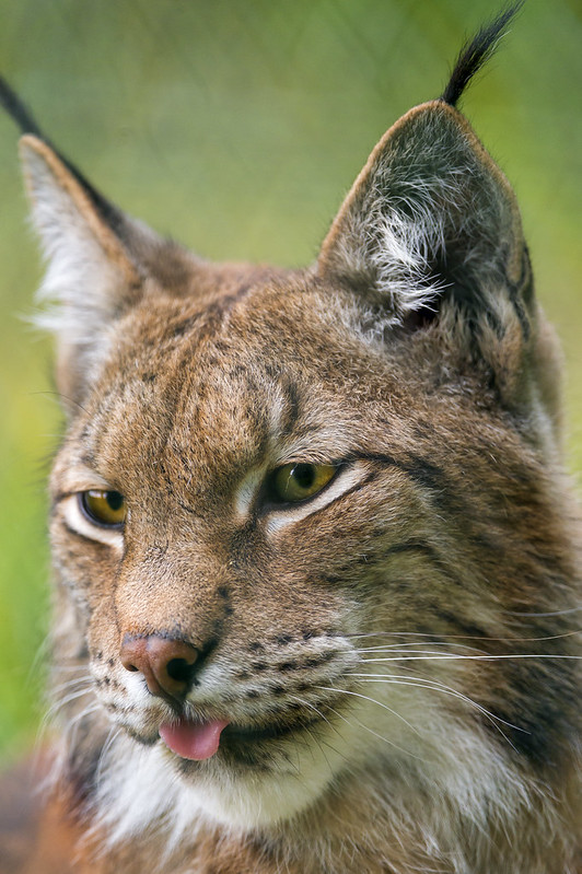 Lynx portrait with tongue