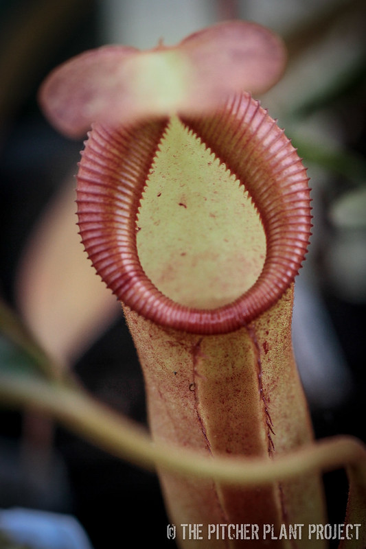 Nepenthes (eymae x (stenophylla x lowii)) x trusmadiensis