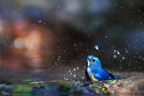 pakistan birds portraits google wildlife islamabad riaz canon600mm canon1dx islbirder orangeflankrobin margllahillsislamabad