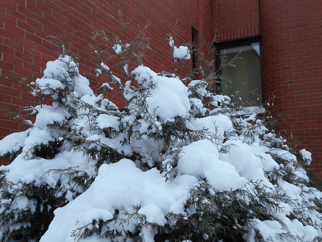 Lumiset kanadantuijat (Thuja occidentalis) kirjastolla 25.12.2014 Hämeenlinna