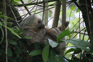 Sloths everywhere.  Puerto Veijo, Costa Rica.