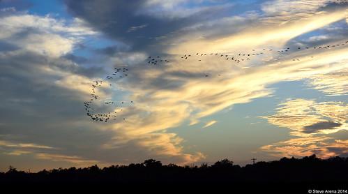 sunset bird birds flying geese inflight louisiana flight welsh waterfowl greaterwhitefrontedgoose 2014 anseralbifrons flightshot hughesroad jeffersondavisparish gwfg yrarf hughesroadcrawfishfarm