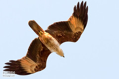 bald eagle(0.0), harrier(1.0), animal(1.0), hawk(1.0), bird of prey(1.0), eagle(1.0), wing(1.0), vulture(1.0), fauna(1.0), buzzard(1.0), accipitriformes(1.0), kite(1.0), beak(1.0), bird(1.0), flight(1.0), wildlife(1.0),