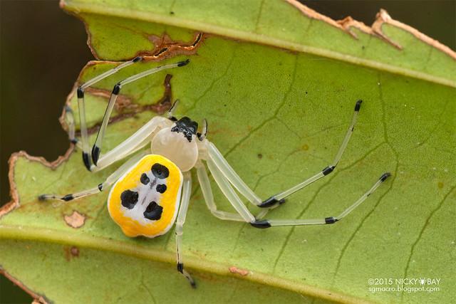 Crab spider (Platythomisus sp.) - DSC_2254