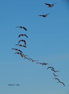 Eighteen Canada Geese in Flight