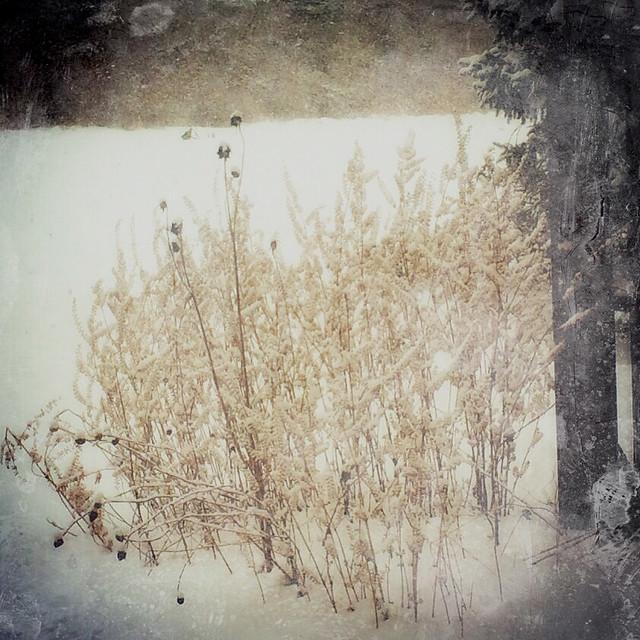 Basil in Snow