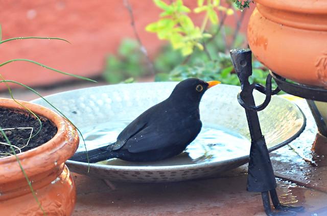 Blackbird, Tenerife
