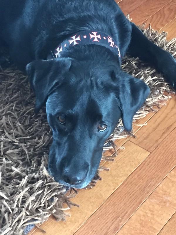 sad black dog
