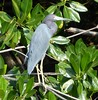 Little Blue Heron by tapaculo99