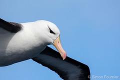 Albatros à sourcils noirs (Thalassarche melanophris)