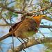 Lesser Ground-Cuckoo, Bahia la Ventosa, Oaxaca, Mexico por Terathopius