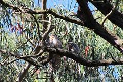 Three Great Horned Owl juveniles.