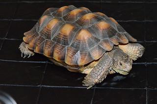 Borrego the Desert Tortoise