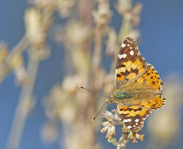 Butterfly TomWells 7D_1603