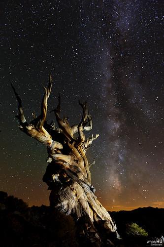 nightphotography lightpainting tree pine forest canon stars ancient bristlecone milkyway ancientbristleconepineforest 1635mmf28 5dmarkiii