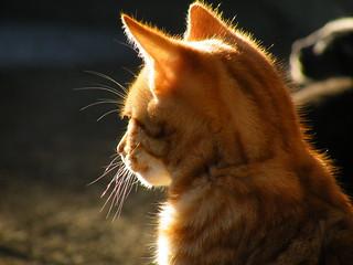 little marmalade cat