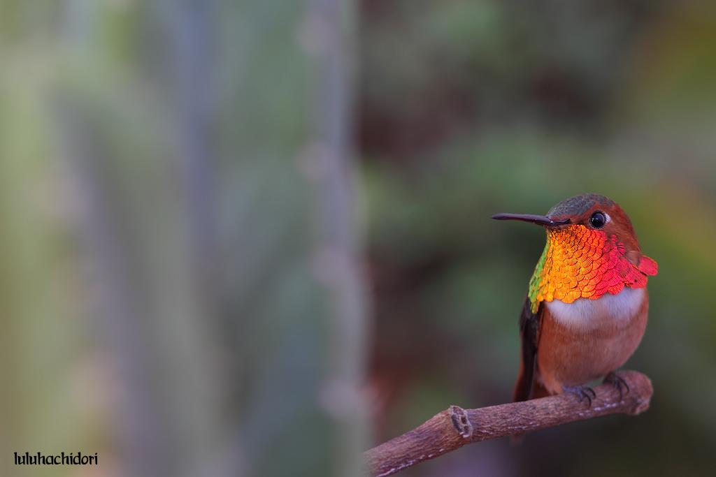 Allen's-Hummingbird-112614