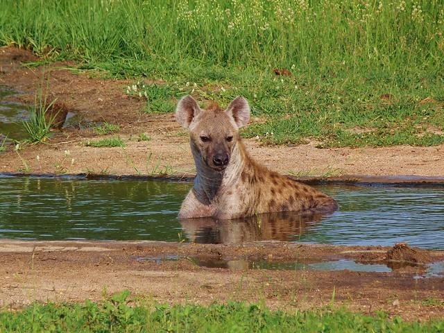 Hiena bañándose en el Parque Kruger de Sudáfrica