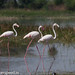 uttampegu posted a photo:	Greater Flamingos in Mangalwar, near Udaipur in Rajasthan, India